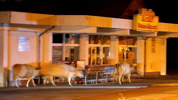 Drei Kühe laufen über einen Parkplatz vor einem Supermarkt