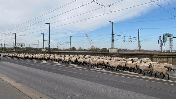 Eine Schafherde überquert eine vielspurige Straßenbrücke.