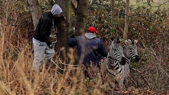 Zwei Männer und zwei Zebras in einem Dickicht