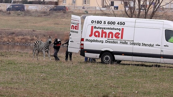 Mehrere Personen versuchen ein Zebra in einen Transporter zu führen.