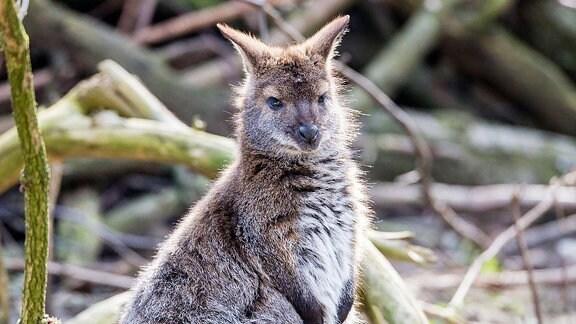 Zwergsteinkänguru