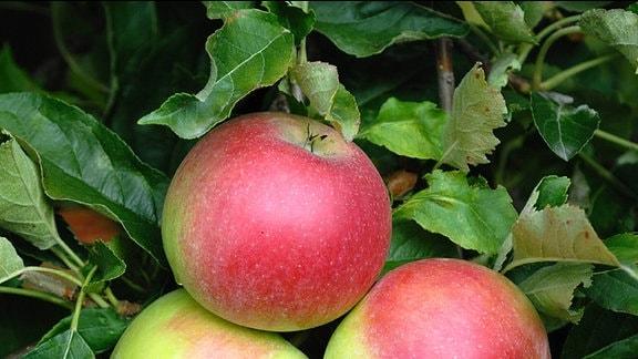 Äpfel der Sorte «Idared» am Baum.