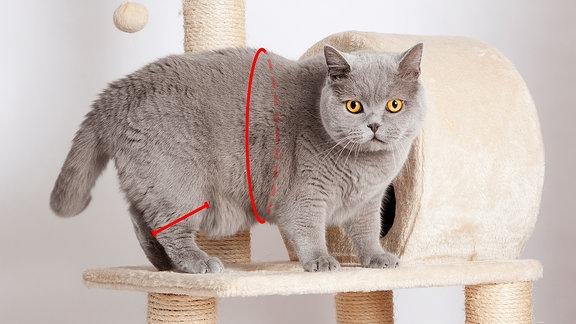 Katzen-BMI