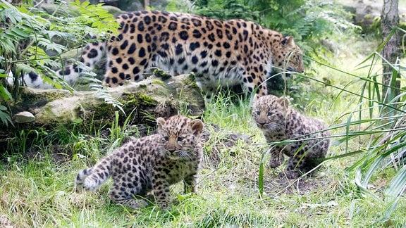 Eine Amurleopardin mit zwei Jungtieren