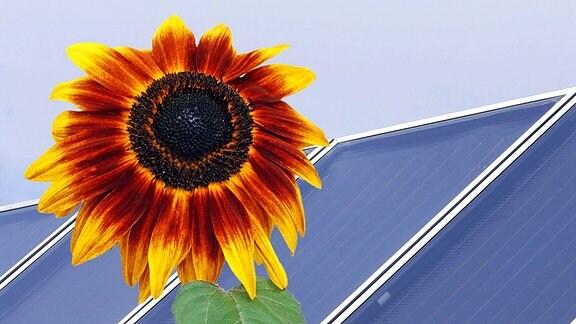 Eine Sonnenblume vor einer Photovoltaikanlage