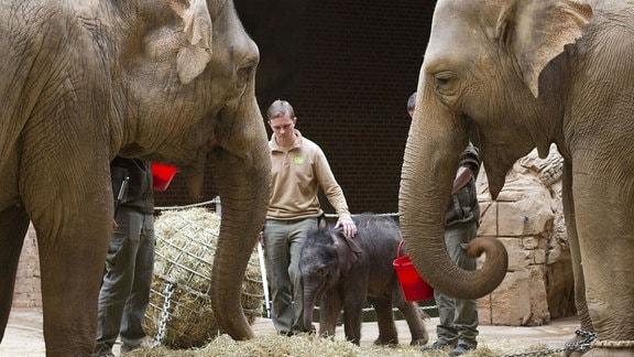 Elefantenkalb im Leipziger Zoo lernt Familie kennen. Im Vordergrund zwei alte Elefanten, im Hintergund das knapp zwei Wochen alte Elefantenbaby
