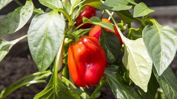 Rote Paprika in Blumentöpfen