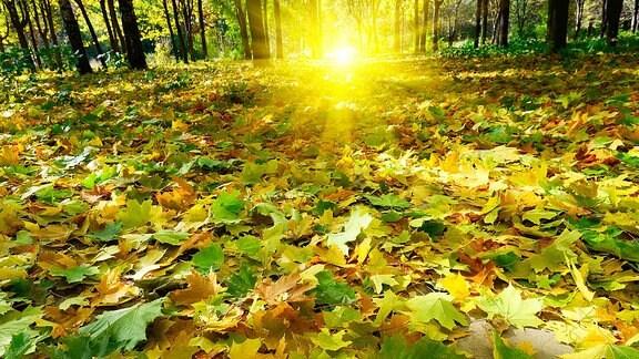 Heruntergefallene Blätter liegen auf dem Boden in einem Wald.