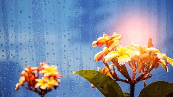 Gelbe Doldenblüten im Regen