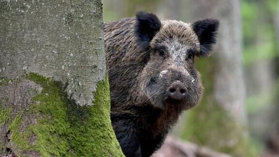 Wildschwein schaut hinter einem Baum hervor.