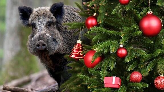 Wildschwein hinter einem geschmückten Tannenbaum