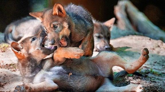 zwei balgende Wolfswelpen