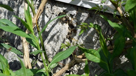 Im Mauerwerk haben sich Bienen eingenistet.