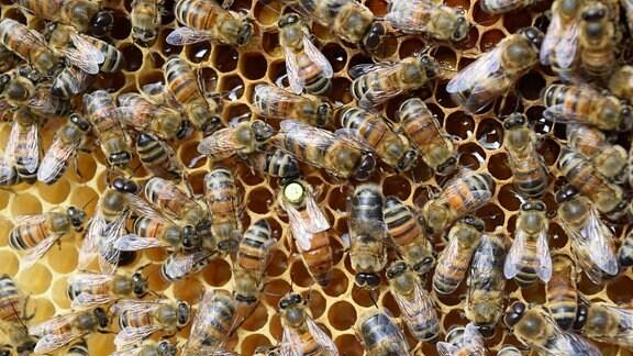 Bienenvolk auf der Wabe, in der Mitte die Königin mit gelber Markierung.