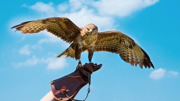 Ein Falke sitzt auf der Hand eines Falkners.