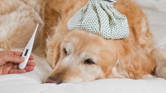 Einem Hund mit einem Eisbeutel auf dem Kopf wird ein Fieberthermometer hingehalten