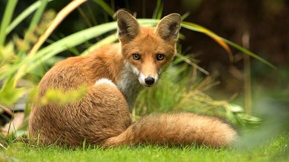 Ein junger Fuchs