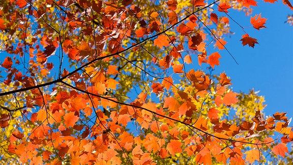 Bunte Blätter an einem Laubbaum.