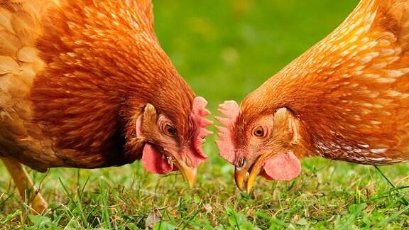 Zwei Hühner picken im Gras