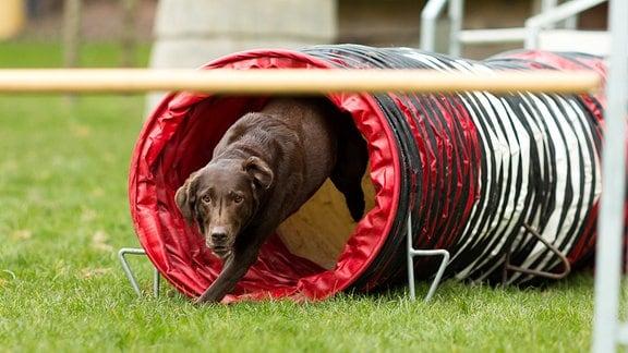 Labrador bei Agility Kurs