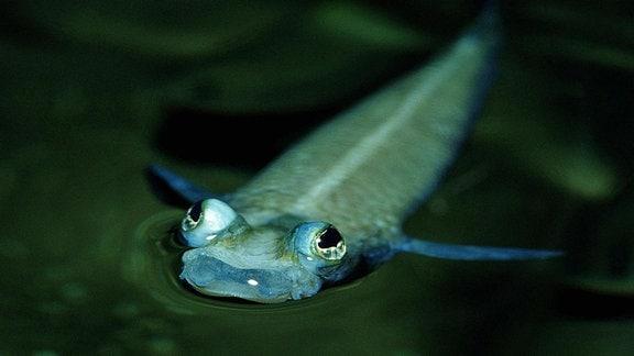Vieraugenfisch