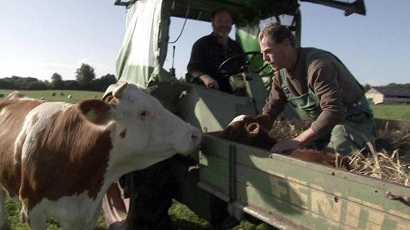 Ein Kalb wird in den Stall gebracht. Die Kuh will mit.