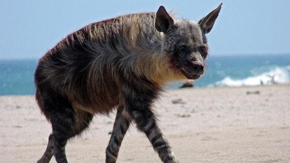 Eine Braune Hyäne läuft entlang der Skelettküste.