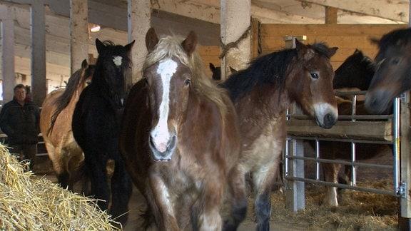 Kaltblutpferde im Stall des Pferdehofes Großenlupnitz (Foto für Folge 1 bis 5)