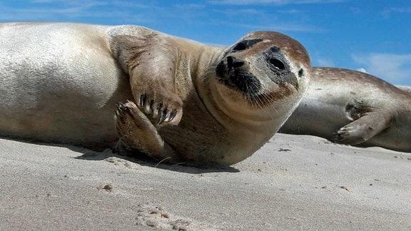 Auf einsamen Sandinseln im dänischen Kattegat bekommen die Seehunde ihre Jungen. Weitere Fotos erhalten Sie auf Anfrage.