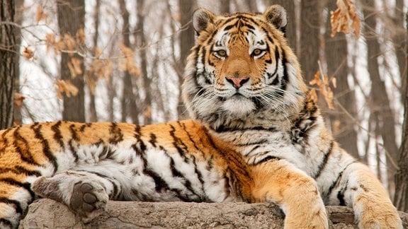 Ruhender sibirisches Tiger.
