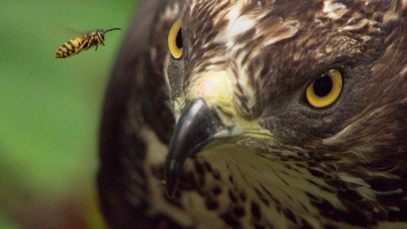 Wespenbussarde haben keine Angst vor stechenden Insekten. Wespen suchen sie sogar regelrecht.