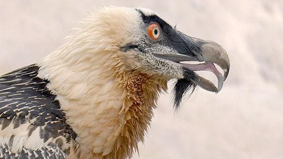 Das Werfen des Knochens ist den riesigen Vögeln angeboren, doch um die kleineren Stücke dann wirklich fressen zu können benötigt es mehr. Mit ihrer ausgeprägten Zunge und den Zähnen im Gaumen bzw. dem riesigen Schlund sind sie die Könige unter den Aasfressern.