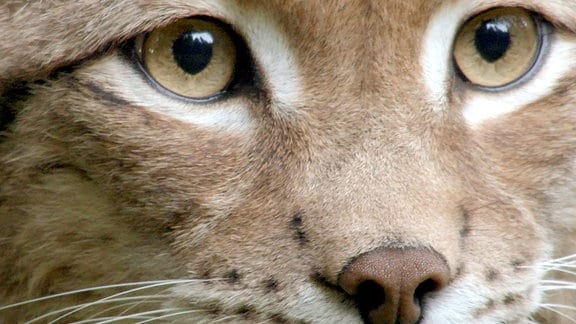 Blick in die Augen eines Luchses