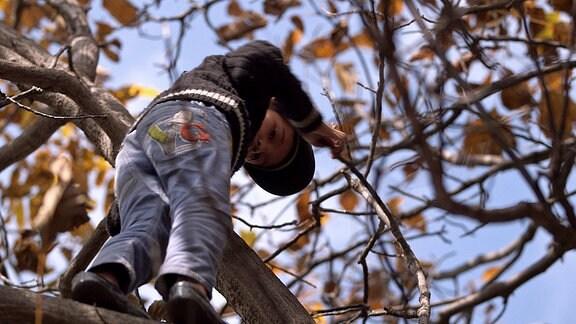 Ein Kind klettert in einem Walnussbaum.