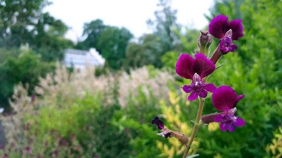 Klebriges Köcherblümchen