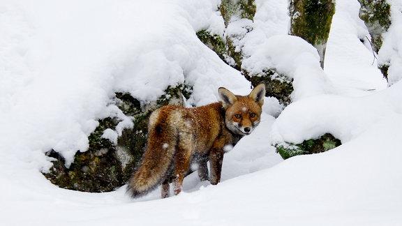 Fuchs vor verschneiten Bäumen.