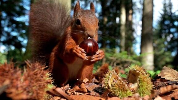 """Eichhörnchen sammelt es Esskastanien, die man in Rheinland-Pfalz """"Keschde"""" nennt."""
