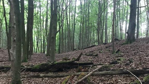 Deutschlands ältester Buchenwald