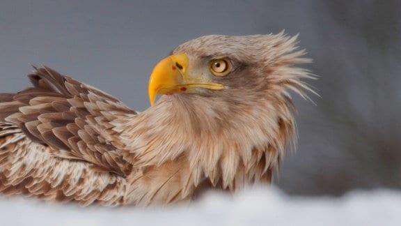 Ein Seeadlerweibchen auf Beutejagd im Winter in Norwegen.