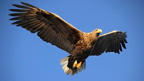 Ein Seeadler im Flug, Seeadler erreichen eine Körperlänge von bis über 90cm, eine Flügelspannweite von bis zu 2,5m und ein Gewicht von bis über 6kg. Die Weibchen sind deutlich größer und schwerer als die Männchen.