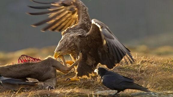 Ein Seeadler an einem totem Reh, beobachtet von Rabe und Nebelkrähe, die auch gerne ihren Anteil haben möchten.