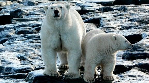 Zwei Eisbären  auf Felsen