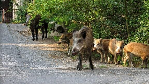 Wildschweine iner Wohnsiedlung