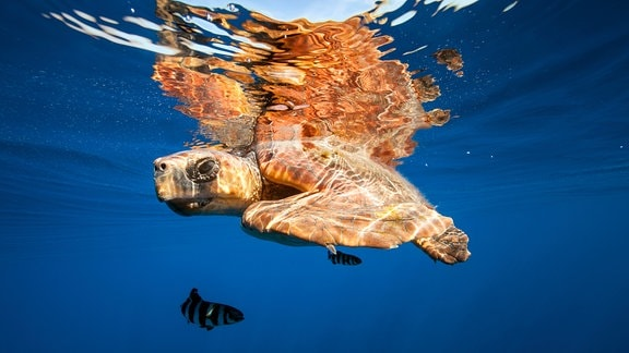 Beim Schnorcheln auf den Kanaren begegnet man mit etwas Glück großen Meeresschildkröten wie etwa der Unechten Karettschildkröte.