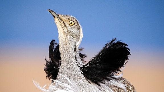 Kragentrappen sind Wüstenvögel. Sie leben auf den Kanareninseln Fuerteventura und Lanzarote. Hat es in der Wüste geregnet, beginnen die Männchen mit ihrer außergewöhnlichen Balz.