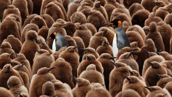 Königspinguineltern auf der Suche nach ihrem Küken.