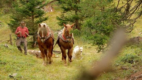 Holzrücken mit Hilfe zweier Kaltblüter in einer bergigen Landschaft  mit mäßig doichter Bewaldung