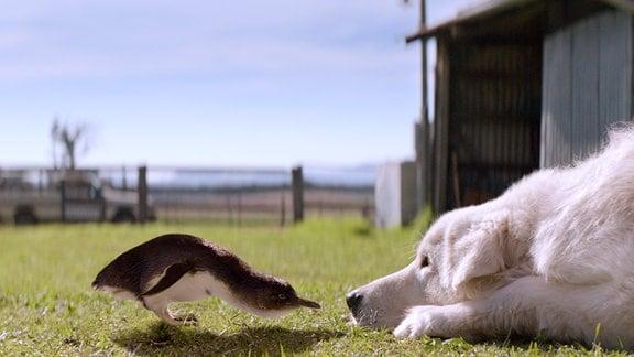 Der kleine Zwergpinguin hat keine Angst vor Hütehund Oddball. Ist das der Beginn einer neuen Freundschaft?