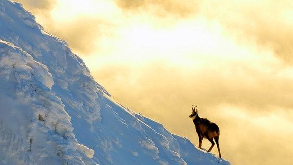 Die Gämsen der Tatra sind Überlebende der Eiszeit und bilden in den Bergen der Tatra sogar eine eigene Unterart.