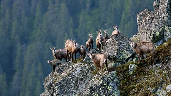 Kletterkünstler –Gämsen kommen problemlos in den Felsen der Tatra zurecht.